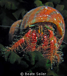 Hermit crab on a night dive at Wakatobi House reef , take... by Beate Seiler 